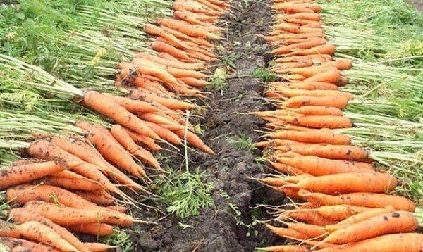 Морковь канада: описание и характеристика, как выращивать правильно