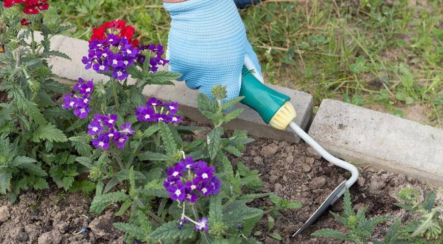 Можно ли выкопать на зиму вербену, как сохранить до весны в домашних условиях