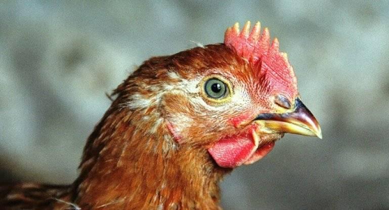 Как не допустить падеж цыплят