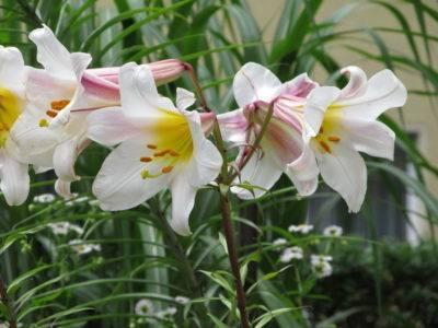 Когда и как правильно сажать луковицы лилий в открытый грунт и на проращивание
