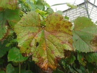 Фото, описание и средства борьбы с вредителями винограда