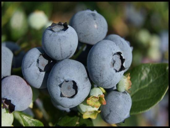 Голубика торо: описание и характеристики сорта, посадка и уход, отзывы с фото