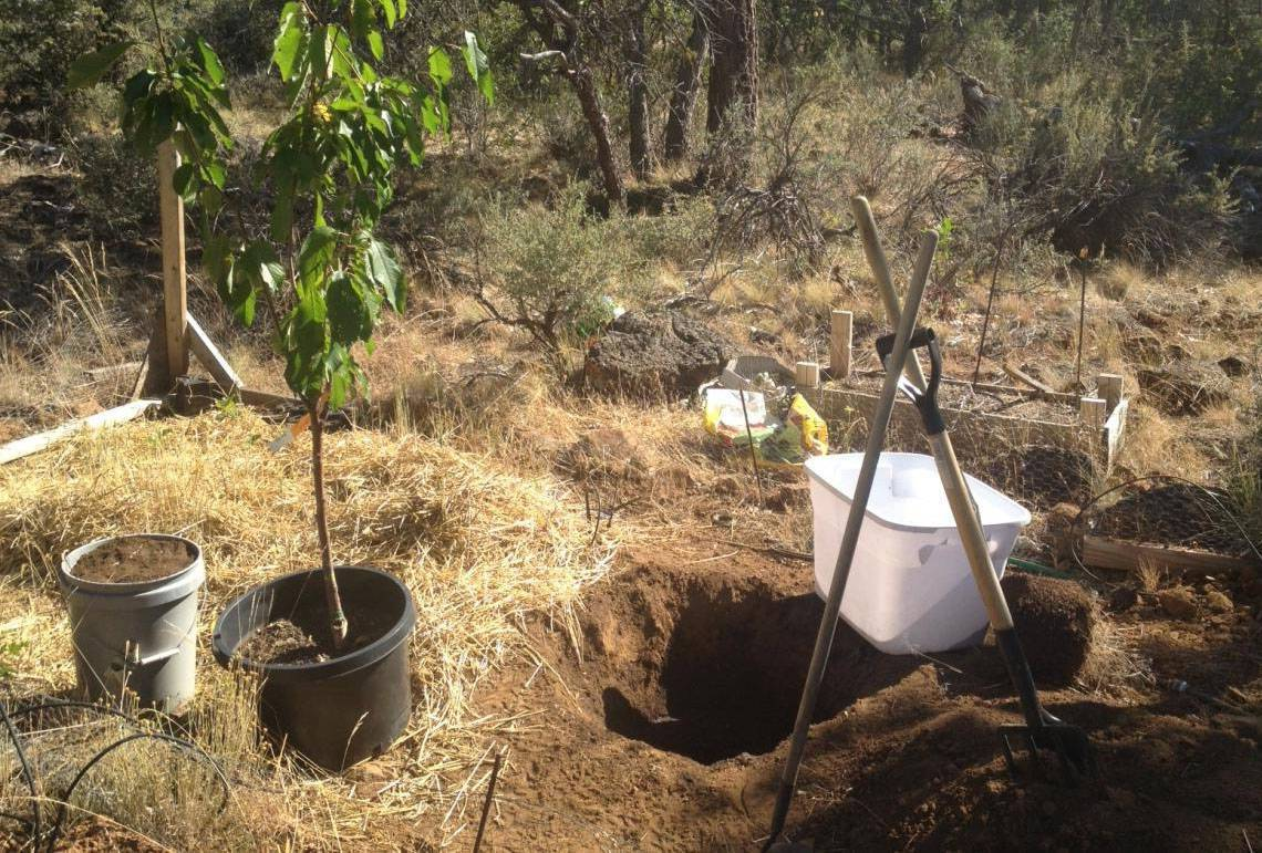 Техника посадки вишни саженцами весной и осенью