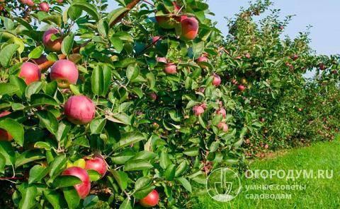 Сорта яблонь с фото и описанием