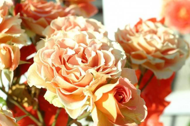 Роза нина вейбул (nina weibull) — что это за сорт флорибунды