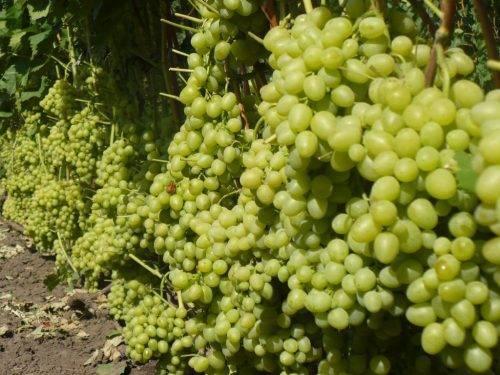 Виноград ландыш. описание. характеристика. фото. отзывы