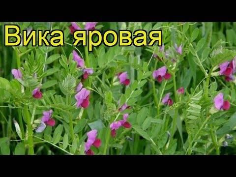 Вика — растение из семейства бобовых