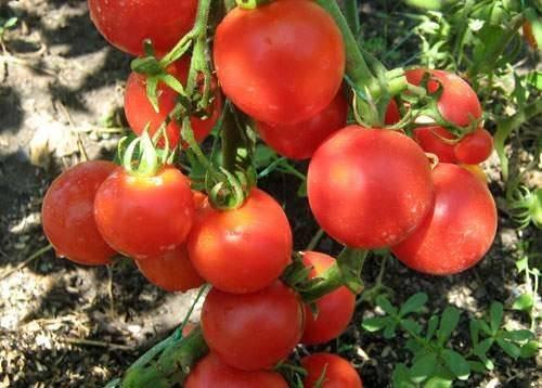 Характеристика и описание сортатомата Малиновый звон, его урожайность