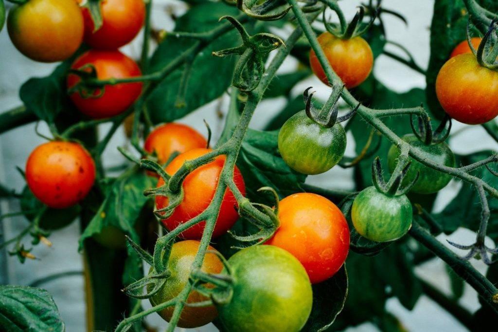 Томат полосатый рейс — описание сорта, отзывы, урожайность