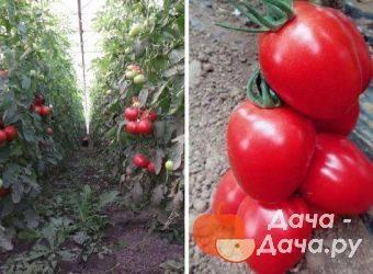 Описание и характеристики сорта томата янтарная гроздь f1