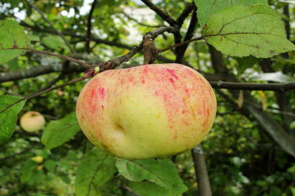 Новая гибридная яблоня настенька