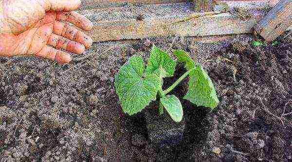 Как быстро прорастить семена огурцов в домашних условий
