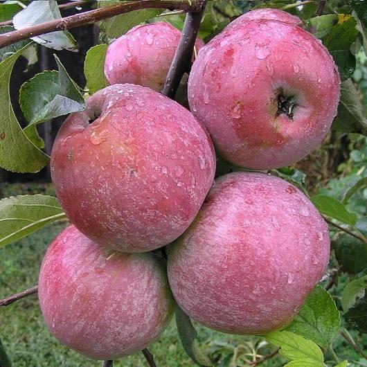 Яблоня уэлси: особенности сорта и ухода