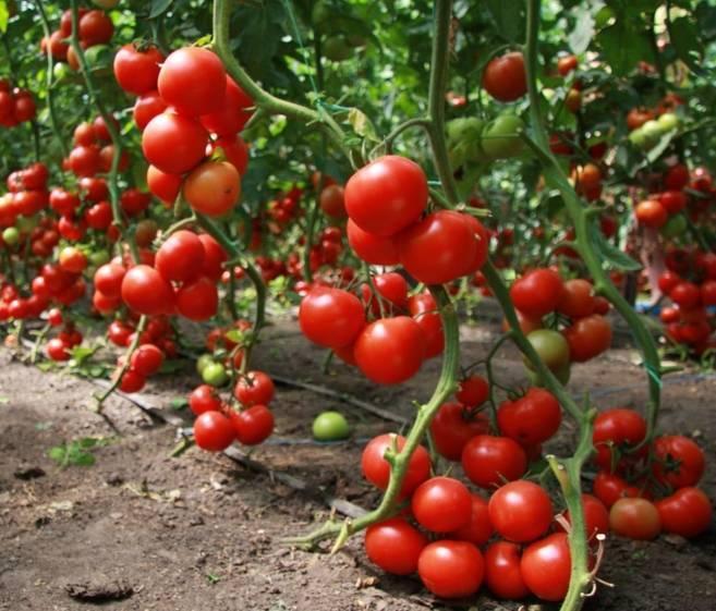 Томат дубрава: как получить хороший урожай