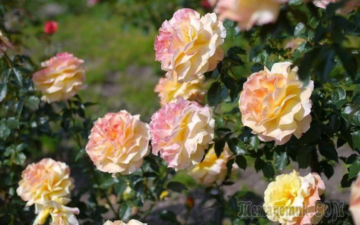 Мучнистая роса на розах: способы борьбы и меры профилактики