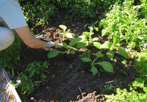 Наперстянка: посадка и уход в открытом грунте, виды и лечебные свойства