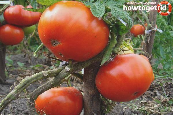Томат «колхозный» — характеристика сорта