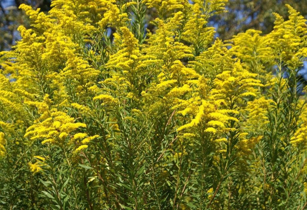 Посадка и особенности ухода за цветком золотарник: фото и виды