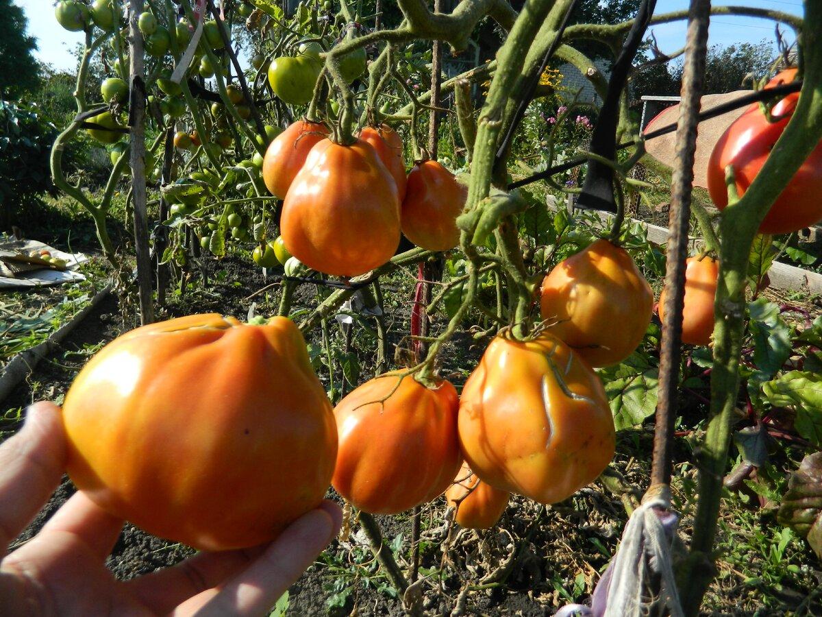 Томат «пузата хата»: описание сорта с фото, урожайность и особенности