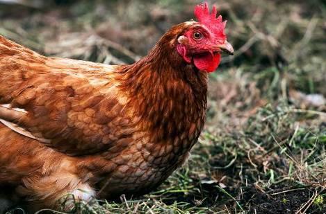 Что делать, если курица снесла яйцо без скорлупы?