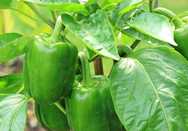 Посадка перца: как это делается? 110 фото и видео описание от экспертов и опытных садоводов