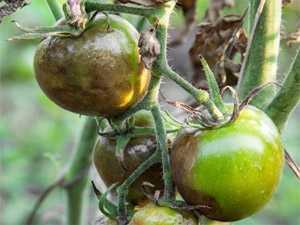 Почему чернеют помидоры в теплице