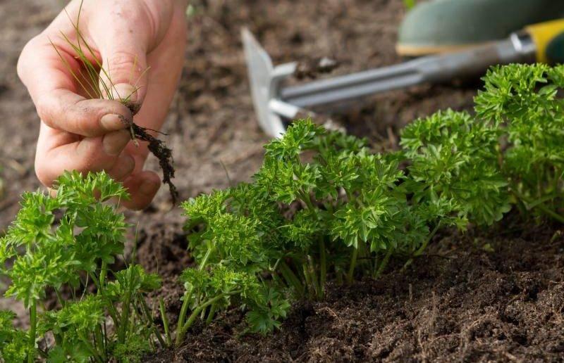 Посадка петрушки под зиму семенами — когда сажать и как сеять петрушку осенью