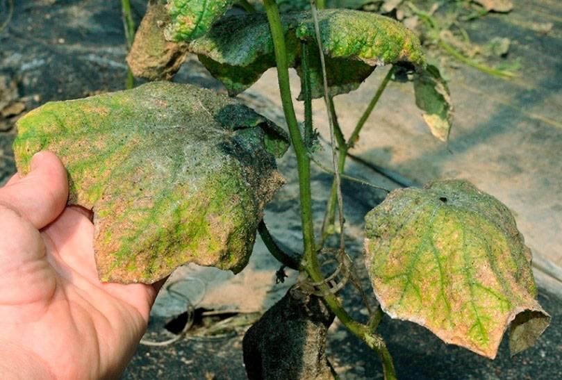 Тля на огурцах снизу листьев – как бороться, препараты и народные средства