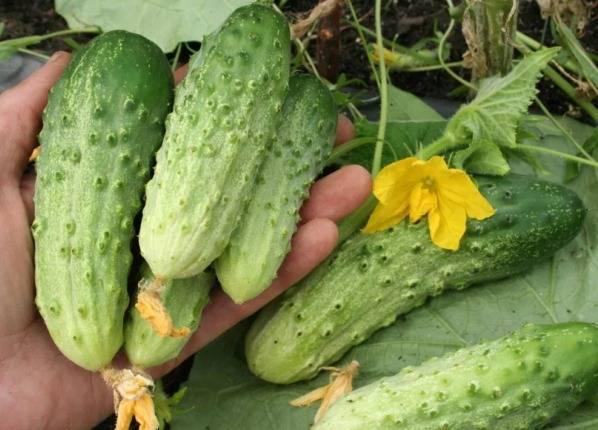 Выращивание огурцов – как получить рекордные урожаи при минимальных затратах