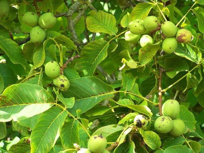 Что посадить под деревьями, или как увеличить полезную площадь на очень маленьком участке