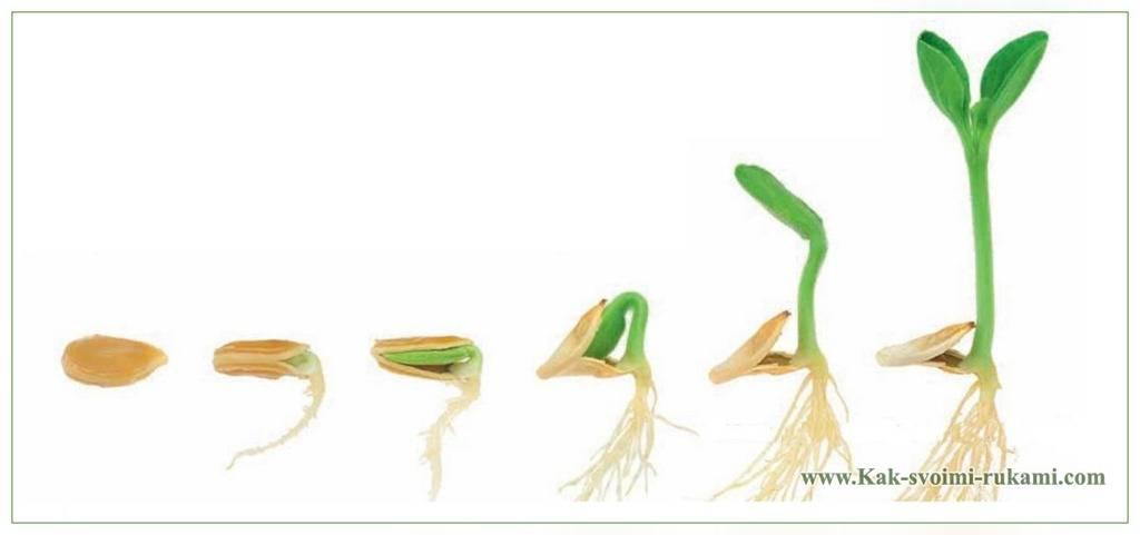 Как замочить семена огурцов перед посадкой — пошаговая инструкция как правильно замочить семена (105 фото + видео)