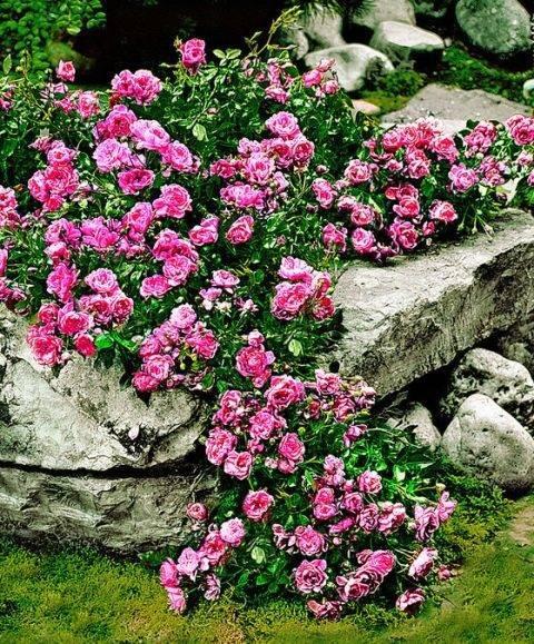 Описание сортов почвопокровных роз, посадка и уход в открытом грунте