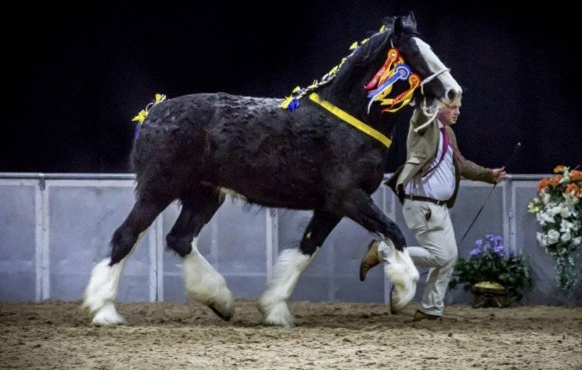 Лошади шайр: как они выглядят и как их используют?