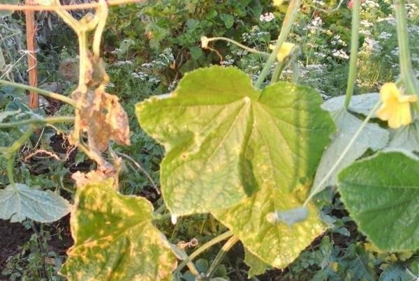 Причины увядания листьев у огурцов