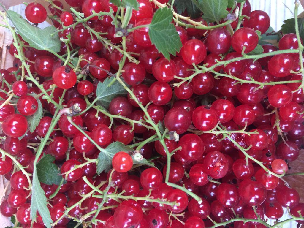 Красная смородина сорта «ненаглядная»