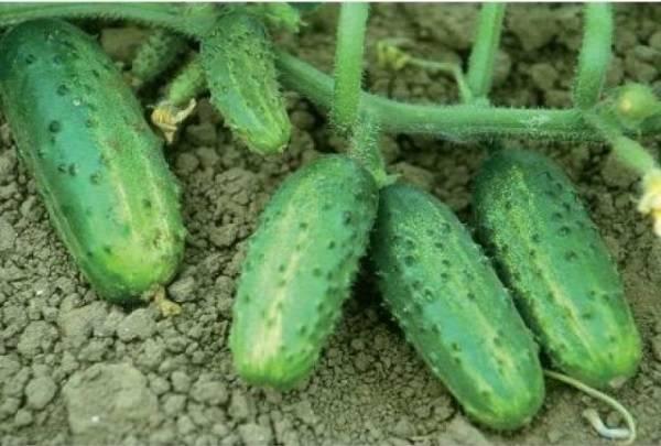 Характеристика сорта огурцов трилоджи и внешнее описание плодов