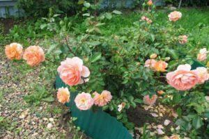 Парковая роза: описание, правила ухода, посадка и размножение, фото