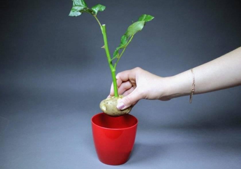 Технология выращивания черенков роз в картошке