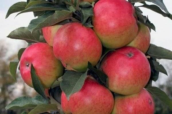 Яблоня колоновидная триумф: описание, фото и отзывы