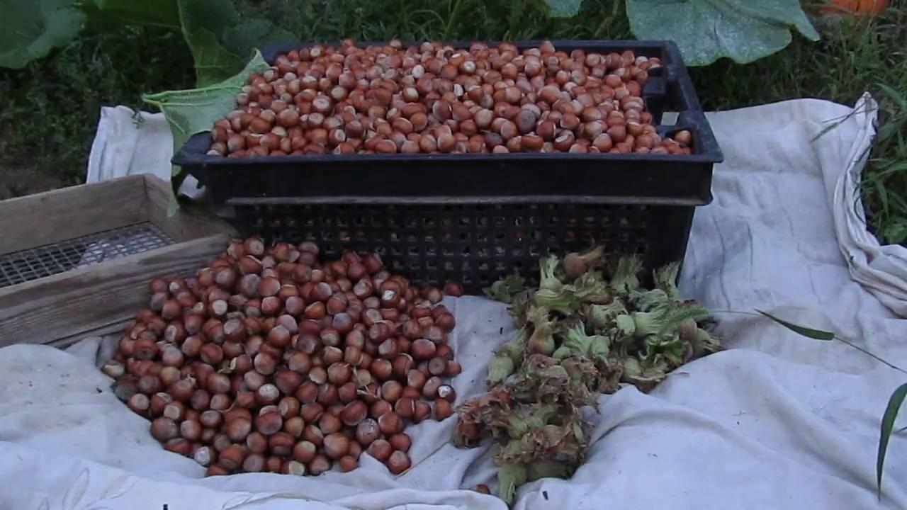 Посадка, выращивание и уход за фундуком в открытом грунте, выбор сорта и размножение