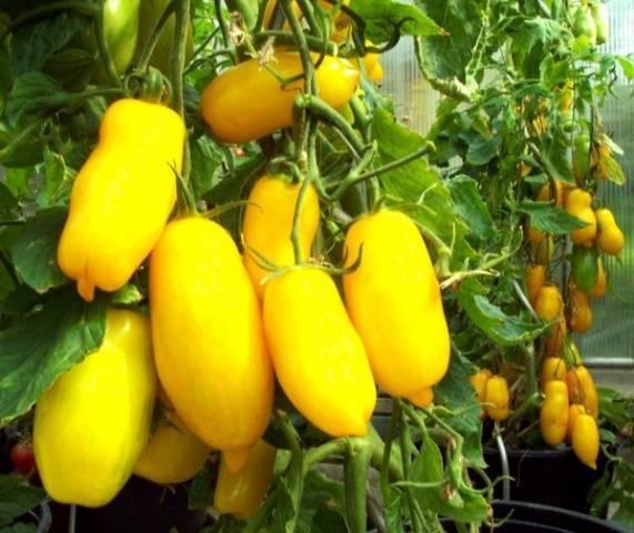 Характеристика и описание сорта томата Безразмерный