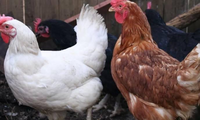Сколько примерно яиц несет курица в день
