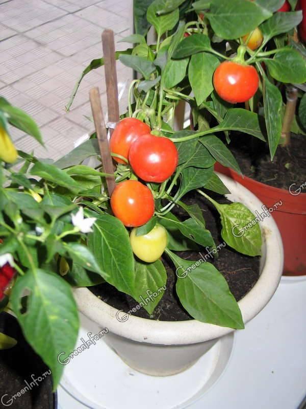 Комнатный перец: разновидности декоративных сортов и секреты выращивания в домашних условиях