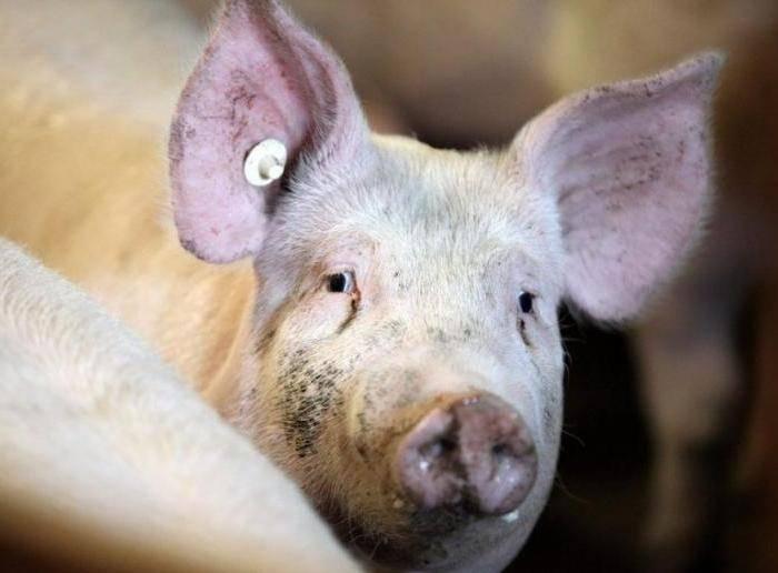 Диагностика и лечение пастереллеза свиней