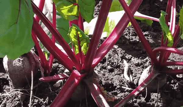 Как выращивать свёклу