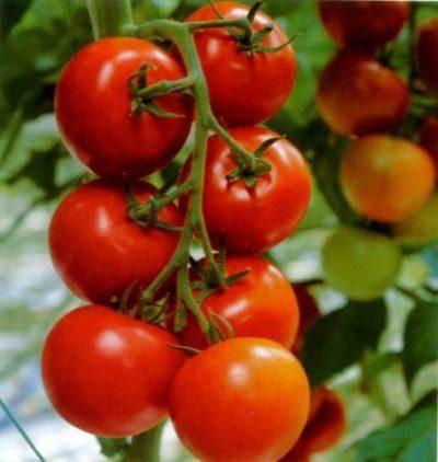 Томат куум: описание и характеристика сорта, урожайность с фото