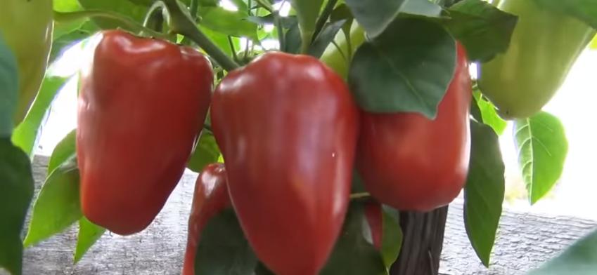 Характеристика и описание сорта перца «винни-пух»