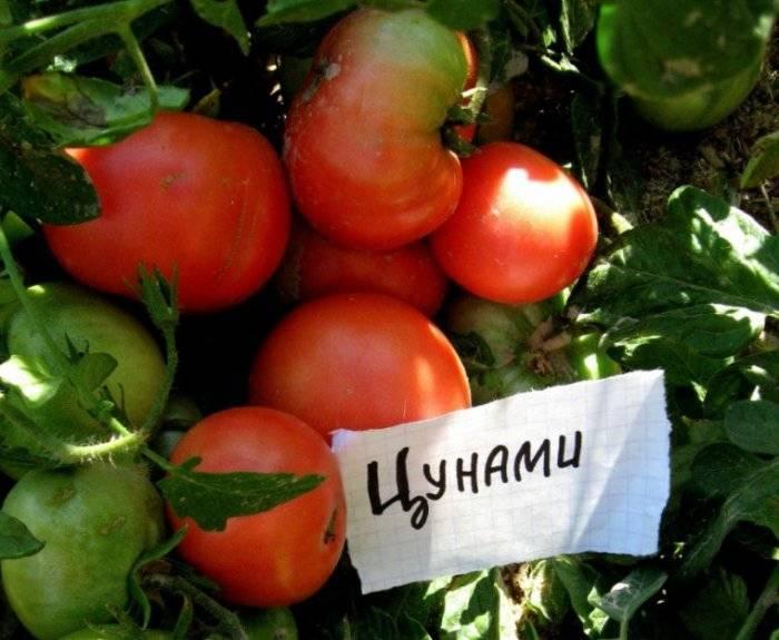 Томат мамонт: характеристика и описание сорта, урожайность с фото