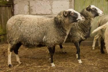 Отечественная ташлинская порода овец