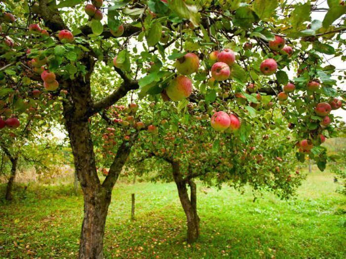 Яблоня чемпион: особенности сорта и ухода